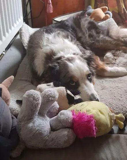 玩具洗了拿去晾干,没想到狗子居然跑去站岗,还守了一整天!
