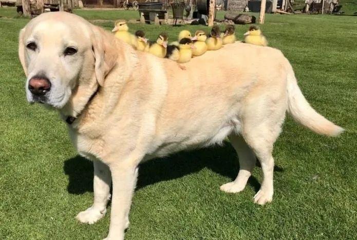 有了小鸡陪伴的狗狗们